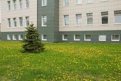 Ель и одуванчики около офисного здания Стоковые Фотографии RF