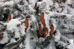 Ель с конусами в снеге Стоковые Фотографии RF