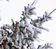 Ель с конусами в снеге Стоковая Фотография