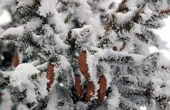 Ель с конусами в снеге Стоковое Фото