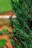 Ель хвои на зеленой предпосылке Стоковые Фото