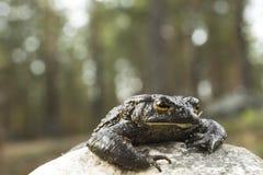 Жаба вползает из камня в лесе, Стоковое Фото