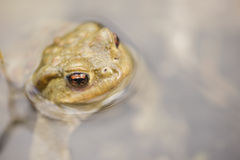 Жаба в воде, bufo Bufo Стоковая Фотография RF