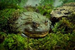Жаба в мхе стоковая фотография rf