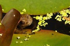 Жаба в пруде Стоковые Фотографии RF