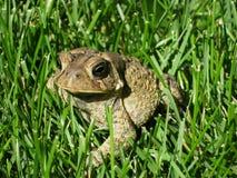 Жаба в траве. Стоковое фото RF