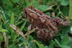 Жаба в траве Стоковая Фотография