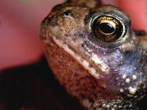 жаба глаза стоковое фото rf
