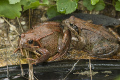Жаба на пруде сада Стоковая Фотография