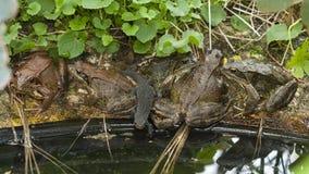 Жаба на пруде сада Стоковые Фото