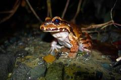 Жаба на реке Стоковое Фото