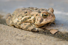 Жаба на цементе Стоковые Фото
