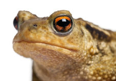 жаба общего bufo Стоковые Фото