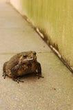 жаба отравы тросточки Стоковая Фотография RF