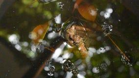 Жаба плавая на воду в бассейне акции видеоматериалы
