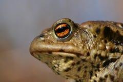 жаба портрета Стоковые Изображения RF