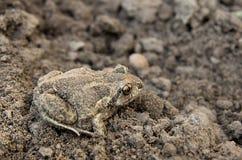 жаба почвы Стоковая Фотография