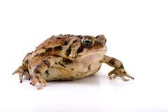 жаба проползать Стоковая Фотография