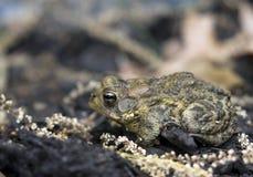 жаба профиля Стоковое Изображение