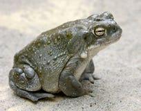 жаба реки 4 colorado Стоковые Фото