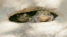 жаба реки 5 colorado Стоковое Фото