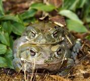 жаба реки colorado Стоковые Изображения