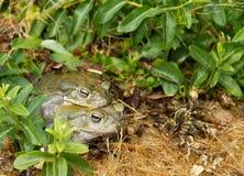 жаба реки colorado Стоковое Изображение