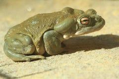жаба реки colorado Стоковая Фотография
