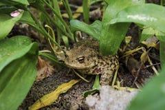 Жаба сидя на глине среди зеленых листьев Стоковая Фотография