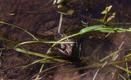 Жаба сидя в теплом пруде прячет от кто-то Стоковые Фотографии RF