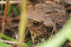 Жаба сидя в траве стоковые фото