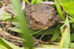Жаба сидя в траве стоковое изображение