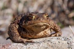 Жаба сидя на камне Стоковое Изображение