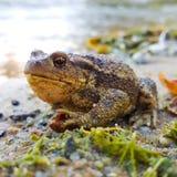 Жаба сидя на краю пруда Стоковое фото RF