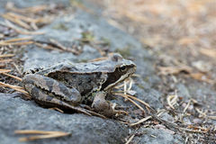 Жаба сидя на утесе Стоковое Изображение RF