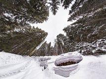Жаба снега в лесе Стоковые Фото