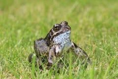 жаба травы Стоковая Фотография