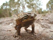 жаба тросточки Стоковая Фотография RF