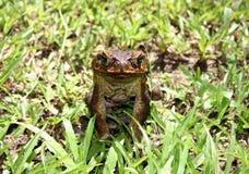 жаба тросточки Стоковые Фотографии RF