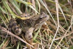 жаба угрожаемая spadefoot Стоковое Фото