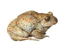 Жаба чеснока на белой предпосылке Стоковое фото RF