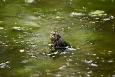 жаба шлама Стоковые Фото