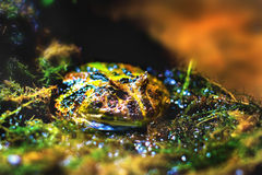 Жаба экзотических лодкамиамфибий изображения бразильская horned Стоковые Изображения