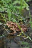 Жаба, лягушка в воде количества Стоковое Изображение RF