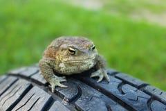 Жаба, лягушка Стоковые Изображения RF