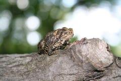 жаба Стоковые Изображения RF