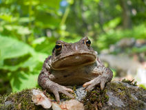 жаба 2 gargarizans bufo Стоковое Фото