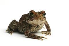 жаба стоковая фотография