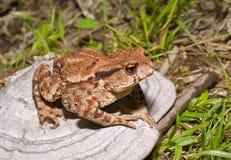 жаба 3 трутов Стоковые Изображения RF