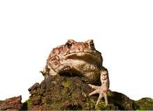 жаба 3 gargarizans bufo Стоковое Фото